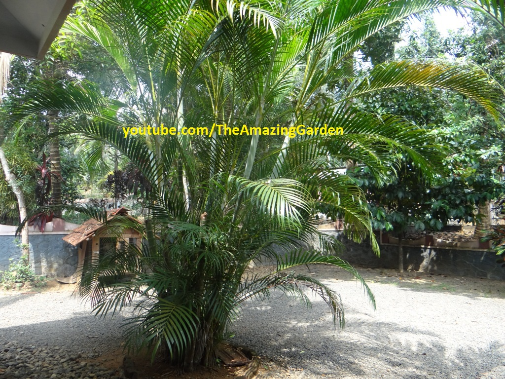 Yellow Palm Areca Palm Chrysalidocarpus Lutescens Trip To Garden