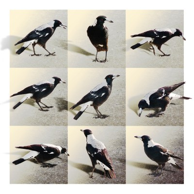 9 magpies