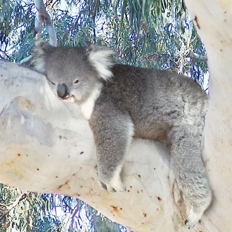koala zzzzz
