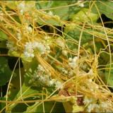 Dây tơ hồng-Cuscuta austelis