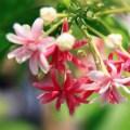 Từng cánh hoa nhỏ xinh màu trắng, phớt hồng đến đỏ thắm mọc thành chùm khoe sắc