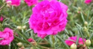 Hoa mười giờ với màu hồng tím nguyên thủy