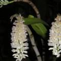 Hoa lan Dendrobium secundum alba- loài lan rừng rât cần ẩm độ