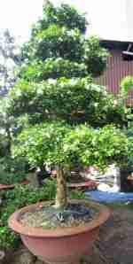 trồng cây nguyệt quế về trong nhà với mong ước con cháu sẽ thành danh, có ích cho đời.