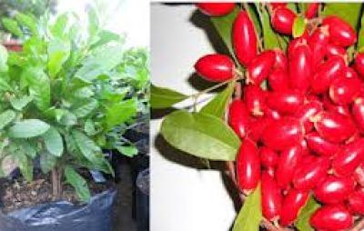 Hướng dẫn cách trồng cây thần kỳ