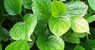 Lá lốt ăn như rau có thể giúp giảm đau gân cốt, chữa tê thấp, đau lưng
