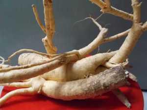sau một thời gian phát triên,rễ cây đinh lăng phát triển và phình thàh củ