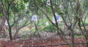 Vườn bưởi có hệ thống tưới, rải mụn dừa giữ ẩm, bao trái