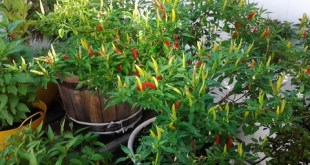 Thu hoạch ớt khi trái bắt đầu chuyển sang màu đỏ