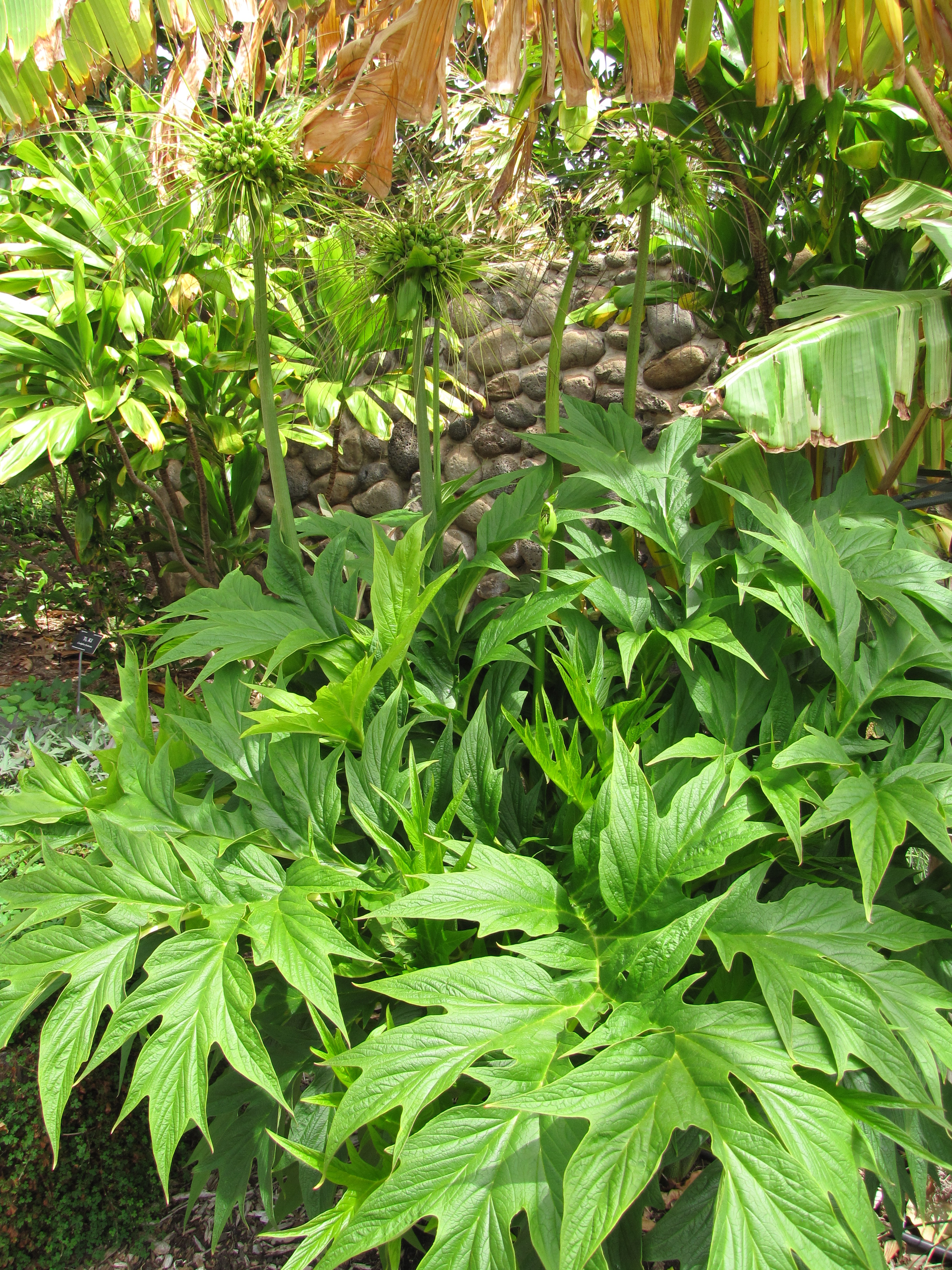 Dypsis Lutescens Useful Tropical Plants Tacca Leontopetaloides Images Useful Tropical Plants