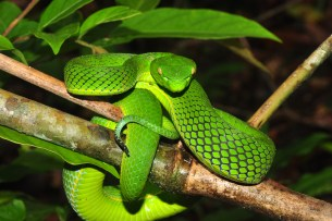 Vogel's green pit viper (Triemeresurus vogeli), is known from the Cardamoms