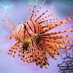 8.-Lion-fish-e1339751931129