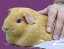 Cavia_porcellus_Guinea_Pig_Lacks_Vitamin_C_ascorbate