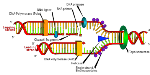 dna_replication_Topomerase_Flouroquinolone