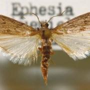 Мельничная огневка (Anagasta kuehniella) («Википедия»)