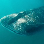 whale-shark-bay-of-l