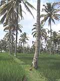 田んぼの真中に椰子の実がおちてるなんて南国ですやん♪