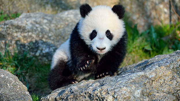 Sloth Wallpaper Cute Panda Fu Bao Macht Seinen Ersten Ausflug Ins Freie Oe3