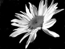 8589130471143-daisy-black-and-white-wallpaper-hd