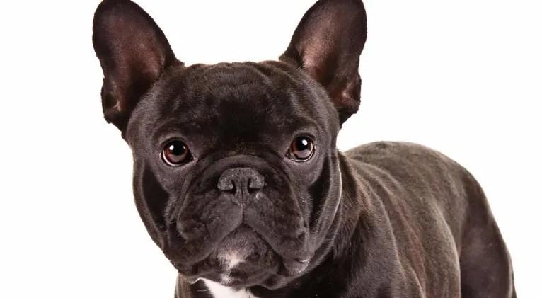 Cute Husky Wallpaper Hd Veja Fotos De Filhotes De Bulldog Franc 234 S E De C 227 Es Adultos