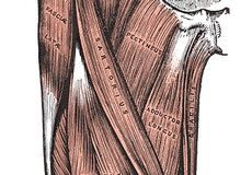 Anatomía y función del músculo cuádriceps