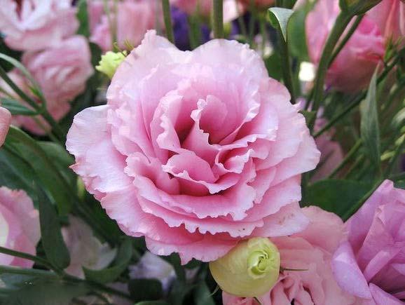 Falling Rose Petals Wallpaper 洋桔梗花 给面小站