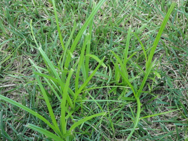 What is Nutsedge, Nutgrass or Watergrass? TurfGator