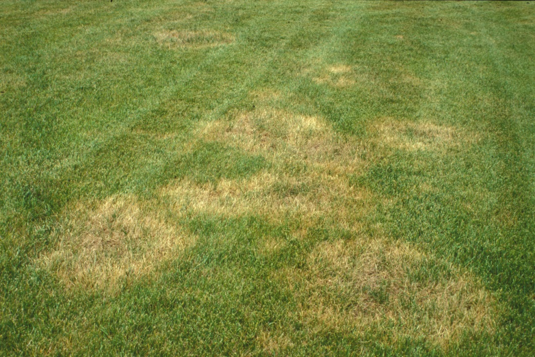 turfgrass disease