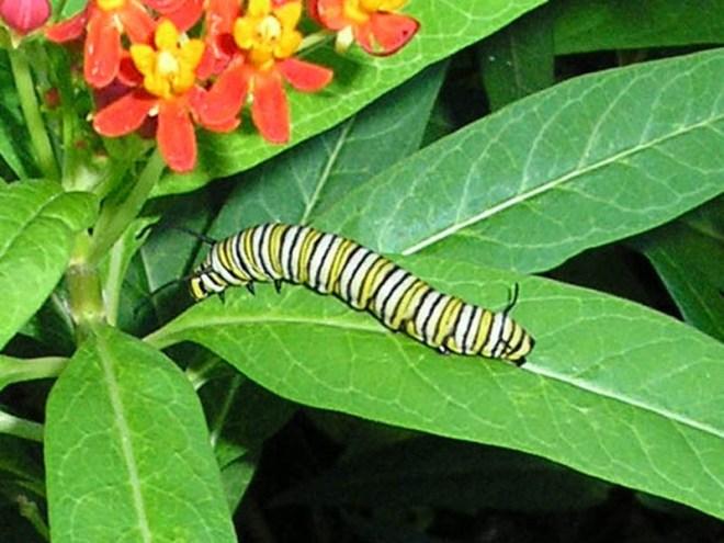 monarchbutterfly-caterpillar-001