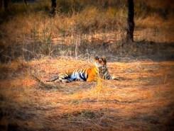Tigress, Sawai Madhopur