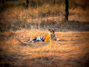 Tigress, Sawai Madhopur