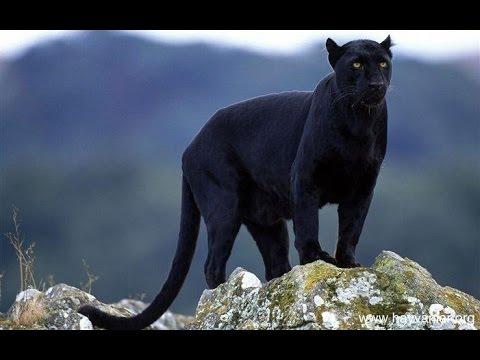 Black Panther Animal Wallpaper Im 225 Genes De Animales Salvajes Im 225 Genes