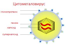 Цитомегаловирус igg антитела обнаружены, что это значит