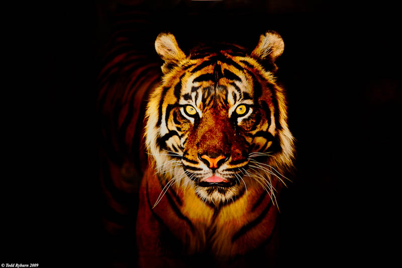 Singam 3 Hd Wallpaper The Mighty Tiger 15 Facts And 25 Stunning Photos