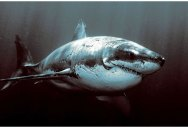 Picture of the Day: The Mighty Great White Shark