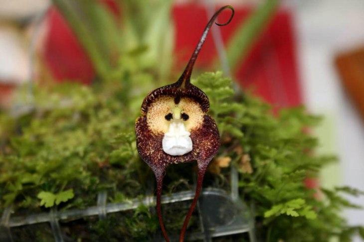 sad-monkey-orchid