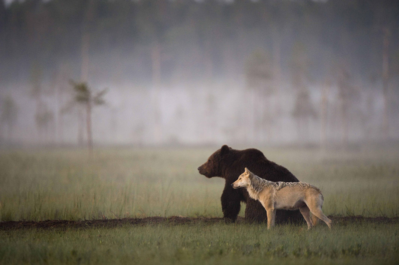 bear-and-wolf-odd-couple-by-lassi-rautiainen
