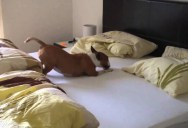 This Dog is Not Allowed on the Bed. This is What She Does When They Leave