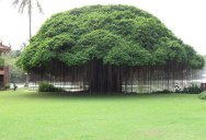 Picture of the Day: The Ancient Banyan Tree