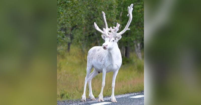 Mala Design Picture Of The Day: Rare White Reindeer Spotted In Mala