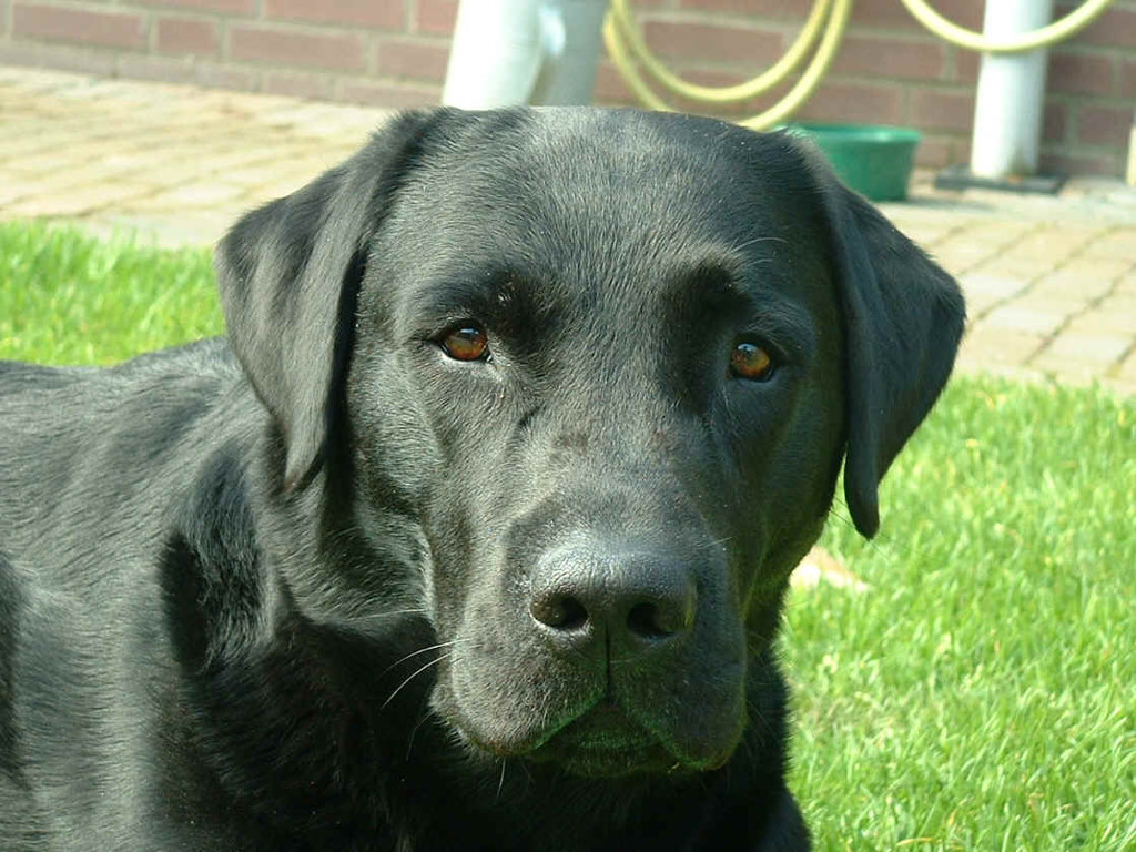 Black Lab Dog Male The Results Are In Twobarkingdogs