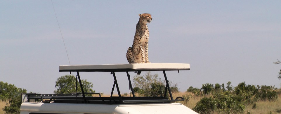 Cheetah on a Car