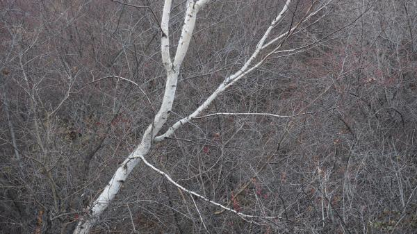 Birch tree in the Black Tea Mountains