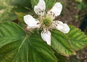 Blackberry Blossom 3-24-17