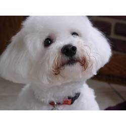 Sophisticated So You Want A Bichon Find Out Small Dog Breeds That Don T Shed Small Alaskan Dog Breeds bark post Small White Dog Breeds