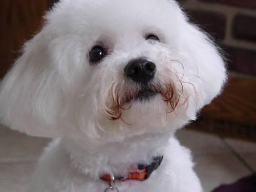 Medium Of Small White Dog Breeds