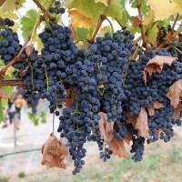 В Україні де-факто заборонені невеликі приватні виноробні господарства