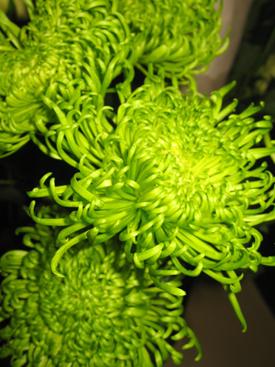 Black Floral Wallpaper Chrysanthemum Green Fugi Ubloom