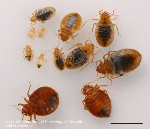 Bed Bug Monitors - Pests in the Urban Landscape - ANR Blogs