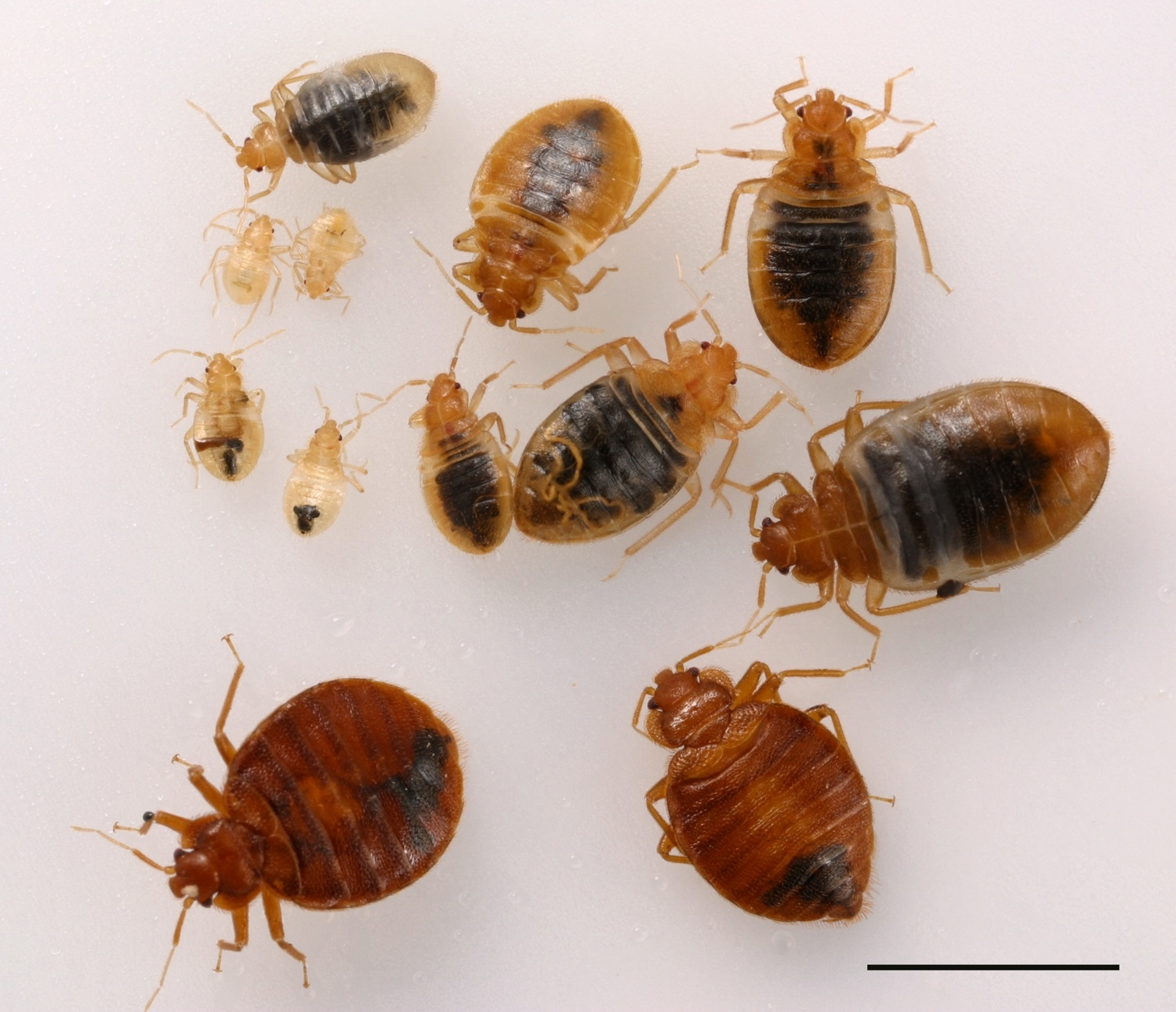 Images Of Bed Bugs Do It Yourself Bed Bug Control Pests In The Urban Landscape